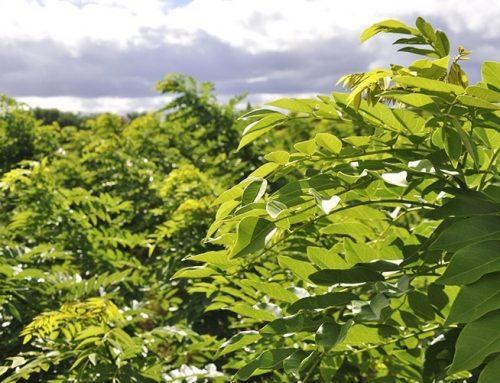 Cerca viva ou pasto mais verde: Prefeitura de Lagarto está doando mudas de gliciridia